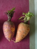Dialogue des carottes