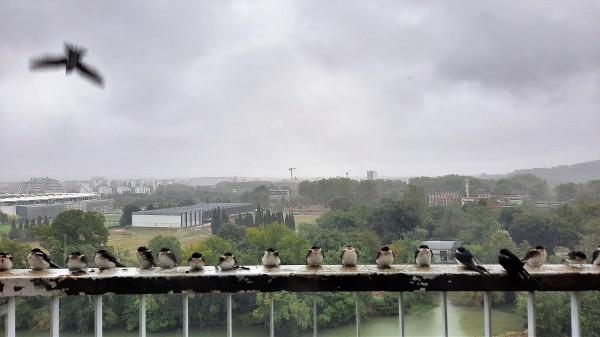 Hirondelles sous la pluie, Toulouse (Occitanie, France), 26 septembre 2020