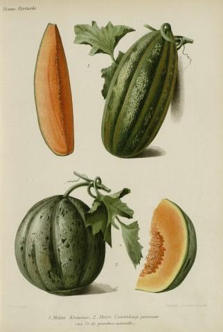 Goffart, J. L. et Guillot, J. R., [Melons], gravure, dans : la Revue horticole, 1903. Source : Hortalia, bibliothèque numérique de la Société nationale d'horticulture de France